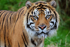 Tiger close-up stock image