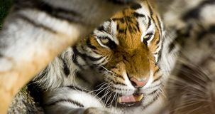 Tiger Close Up Stock Image