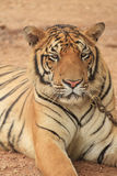 Tiger Close Up Stock Photography