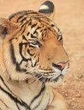 Tiger Close Up Stock Image