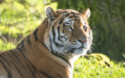 Tiger. Close up of a beautiful male tiger watching intently for prey Royalty Free Stock Images