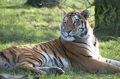 Tiger. Close up of a beautiful male tiger watching intently for prey Stock Images