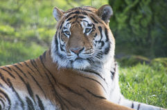 Tiger. Close up of a beautiful male tiger watching intently for prey Stock Photography