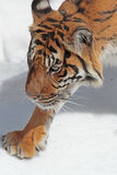 Tiger. Close Up Detail of Adult Tiger Walking In Snow Stock Image