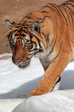 Tiger. Close Up Detail of Adult Tiger Walking In Snow Royalty Free Stock Image