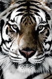 Tiger close-up of face Royalty Free Stock Images