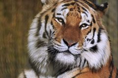 Tiger Close Up Face and Head. A close up image of an adult Amur Tiger`s face and head, Panthera tigris altaic, one of the largest species of tiger, looking stock photos