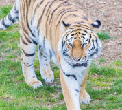 Tiger. Close up head shot image Royalty Free Stock Photography