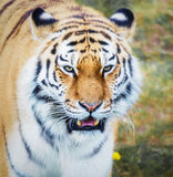 Tiger. Close up head shot image Stock Photography