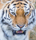 Tiger. Close up head shot image Stock Photo