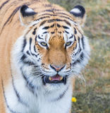 Tiger. Close up head shot image Royalty Free Stock Image