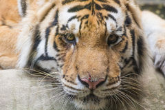 Tiger close up Royalty Free Stock Image