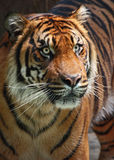 Tiger. Close Up Tiger Looking Fierce To The Right stock photography