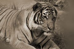 The tiger. Tiger close up: The tiger (Panthera tigris) is the largest cat species. It is the third largest land carnivore (behind only the polar bear and the Stock Photos