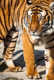 Tiger Close Up Portrait Royalty Free Stock Photos