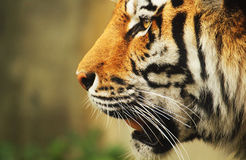 Tiger. A close-up portrait of a sibirian tiger Stock Image