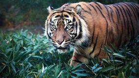 Tiger. Close up portrait of Sumatran Tiger on the leafs royalty free stock image
