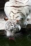 Tiger. Close up shot of white tiger drinking water Royalty Free Stock Photo