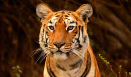 Tiger. The close up of tiger...special image Stock Image
