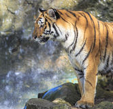 Tiger. Close up of a tiger standing on the rock Stock Photo