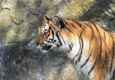 Tiger. Close up of a tiger standing on the rock Stock Images
