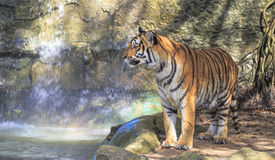 Tiger. Close up of a tiger standing on the rock Royalty Free Stock Images