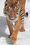 Tiger. Close Up Of Sumatran Tiger Walking In Snow Royalty Free Stock Image