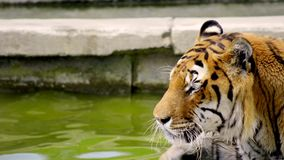 The tiger close up Stock Image