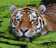Tiger. Close up of tiger in water Royalty Free Stock Images