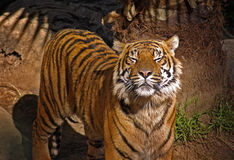Tiger with Closed Eyes. A beautiful tiger standing with his eyes closed Royalty Free Stock Photography