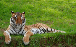 Tiger with closed eyes. Tiger lying on grass with eyes closed stock photos
