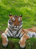 Tiger with closed eyes. Tiger lying on grass with eyes closed royalty free stock images