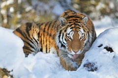 Tiger closeup Stock Photography