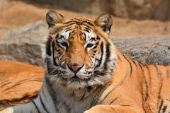 Tiger Closeup hermoso Imagen de archivo libre de regalías