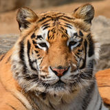 Tiger Closeup hermoso Imágenes de archivo libres de regalías