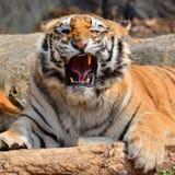 Tiger Closeup hermoso Foto de archivo libre de regalías