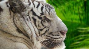 Tiger Closeup Portrait blanco Imagen de archivo libre de regalías