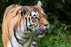 Tiger. Closeup of an Siberian Tiger Royalty Free Stock Photography