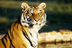 Tiger Closeup Royalty Free Stock Photography