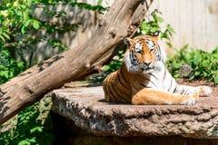 Tiger closeup at zoo Royalty Free Stock Image