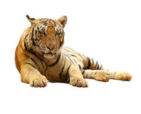 Tiger with clupping path Royalty Free Stock Photography