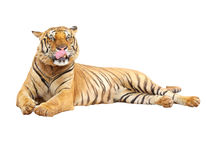 Tiger with clupping path Stock Photography