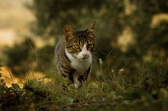 Tiger colored cat walking in autumn fields stock photography