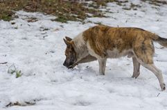 Tiger colored dog in searching of some food in spring, snowy park. Stray tiger colored dog in searching of some food in spring, snowy park Royalty Free Stock Images