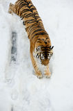 Tiger comes down from mountain covered by snow Royalty Free Stock Image