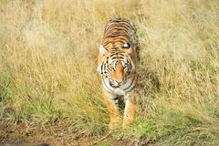 Tiger coming out of the grass Stock Photography