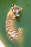 Tiger is cooling off in the pond Royalty Free Stock Photography