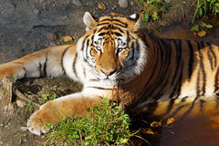 Tiger cooling off in a pond Stock Photo