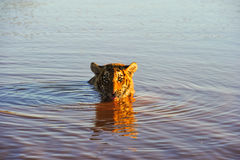 Tiger cooling off in the water Royalty Free Stock Photo