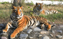 Tiger couple. Resting under tree shade Royalty Free Stock Photography
